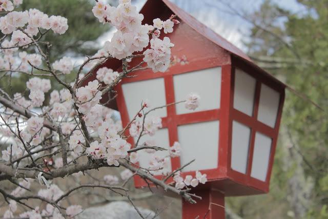https://pixabay.com/en/japan-sakura-cherry-blossoms-955813/